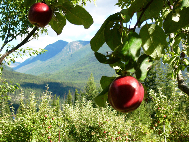 Apples in the Wing Creek Orchard