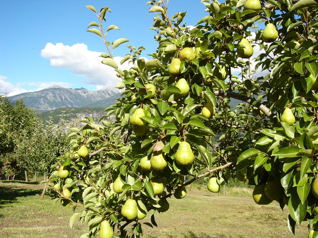 Pears in the Wing Creek Orchard