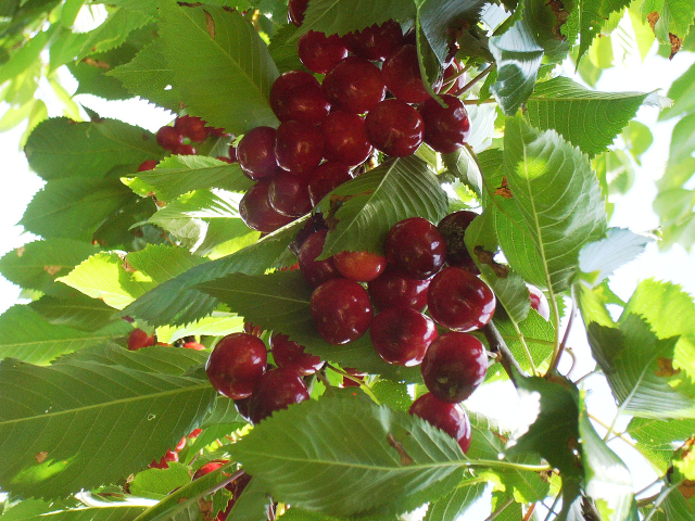 Cherries in the Wing Creek Orchard